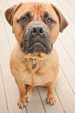 Ledsen hund för tjurmastiff Royaltyfri Bild