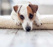 Ledsen hund hemma royaltyfri bild