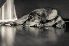 Ledsen hund som lägger på golv Arkivbild