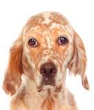 Ledsen hund som ser kameran fotografering för bildbyråer