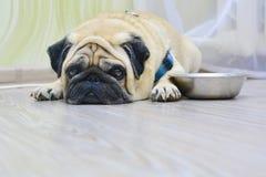 Ledsen hundmops som ligger p? golvet bredvid plattan Begrepp: mata ett husdjur, hunger, hundkappl?pning hemma arkivbild