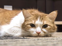 Ledsen katt Royaltyfria Foton