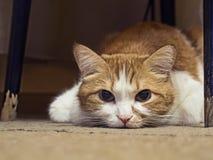 Ledsen katt Royaltyfri Bild