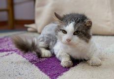 Ledsen katt i fristad Katt som vilar upp katten på en soffa, gulligt roligt kattslut, ung skämtsam katt, inhemsk katt, avslappnan Arkivfoto