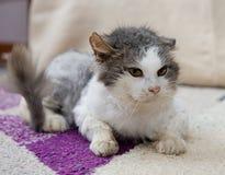 Ledsen katt i fristad Katt som vilar upp katten på en soffa, gulligt roligt kattslut, ung skämtsam katt, inhemsk katt, avslappnan Fotografering för Bildbyråer