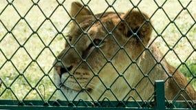 Ledsen lejoninna som ser utöver staketet Royaltyfri Fotografi