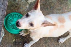 Ledsen liten hund, thai hund Royaltyfri Foto