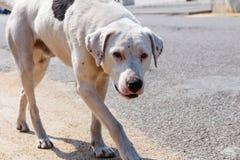 Ledsen och förskräckt vit byracka med den sårade näsan och försiktiga ögon som ser kameran Foto av den tillfälliga hunden med kop arkivbild