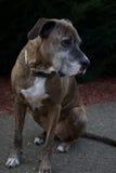 Ledsen räddningsaktionhund Royaltyfria Bilder