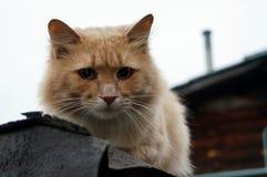 Ledsen röd katt Arkivfoto