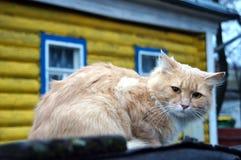 Ledsen röd katt Arkivbild