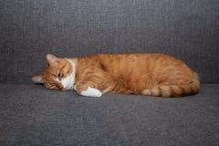 Ledsen röd katt som ligger med ögon som är öppna på en grå soffa efter anestesi En olik kattteckensorgsenhet som är deprimerad ut arkivfoton