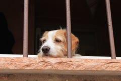 Ledsen röd-vit lurvig hund i fönstret arkivfoto