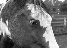 Ledsen seende häst med vita ögonsnärtar Arkivfoto