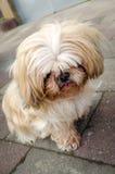 Ledsen Shih Tzu hund Arkivbild