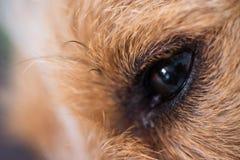Ledsen stålarrussel hund som lägger på den inomhus closeupen för matta fotografering för bildbyråer