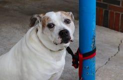 Ledsen synad hund med den broddade kragen som binds av koppeln till polen utanför byggnad - närbild - selektiv fokus fotografering för bildbyråer