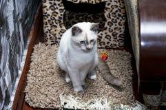 Ledsen thailändsk katt med blåa ögon Royaltyfri Fotografi