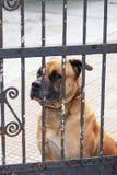 Ledsen vakthund som ser till och med stängerna av porten royaltyfri foto
