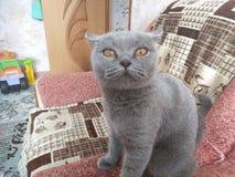 LEDSET hem Grey Cat för foto royaltyfri bild