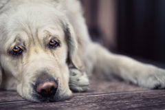 Ledsna ögon av den stora vita hunden Arkivbild