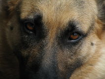 Ledsna ögon av en herdehund Arkivbilder