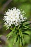 Ledum-Blüten-Nahaufnahme Stockfotografie