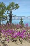 Ledum fleurissant sur le sable Photographie stock libre de droits