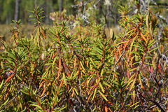 Ledum (Labrador tea) Stock Images