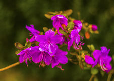 Ledum Ledum palustre Rhododendron tomentosum Anlage im Wald Lizenzfreies Stockbild