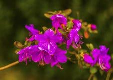 Free Ledum . Ledum Palustre Rhododendron Tomentosum Plant In Forest Royalty Free Stock Image - 90262546