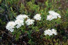 Free Ledum Palustre. Marsh Tea Blooms In The Yamal Tundra Stock Image - 152124711