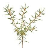 Ledum palustre plant isolated on white background Royalty Free Stock Images