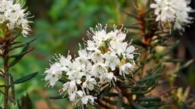 Ledum palustre plant Royalty Free Stock Photo