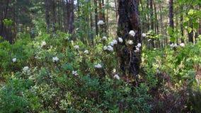 Ledum palustre (Rhododendron tomentosum) plant stock footage