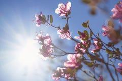 Ledum Siberia, pink spring flowering shrub, Rhododendron Ledebou Royalty Free Stock Photo