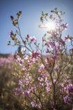 Ledum Siberia, pink spring flowering shrub, Rhododendron Ledebou Stock Photography