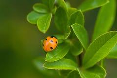 ledybird φυτό Στοκ φωτογραφία με δικαίωμα ελεύθερης χρήσης