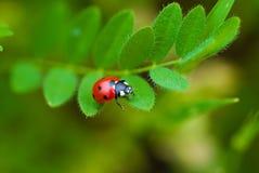 ledybird roślina Zdjęcie Royalty Free
