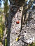 Ledybug-Insekt schön Stockfotografie