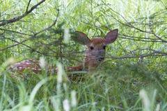 śledzić jeleni white Zdjęcie Royalty Free