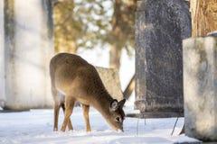?ledzi? jeleni white zdjęcia stock