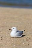 Śledziowy seagull Zdjęcia Stock