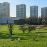 Lee Valley Park. Flock of sheep graze in Lee Valley Park, London with skyscrapers in background royalty free stock photo