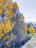 Lee Vining osiki Żółci liście obrazy stock