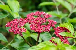 Leea Rubra flowers Royalty Free Stock Images