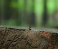 Leech on a bark Stock Photos