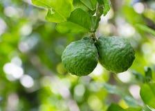 Leech lime or Bergamot Royalty Free Stock Images