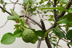 Leech lime or Bergamot fruits on tree Royalty Free Stock Photo