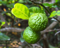 Leech lime fruits. Hanging on its tree Royalty Free Stock Image